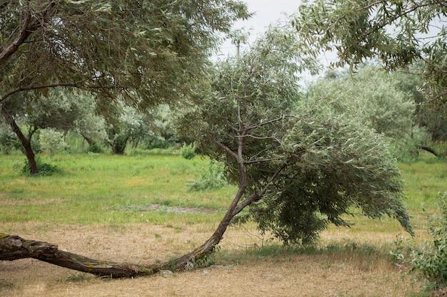 Dzikie drzewo oliwne. drzewo o nietypowym kształcie.