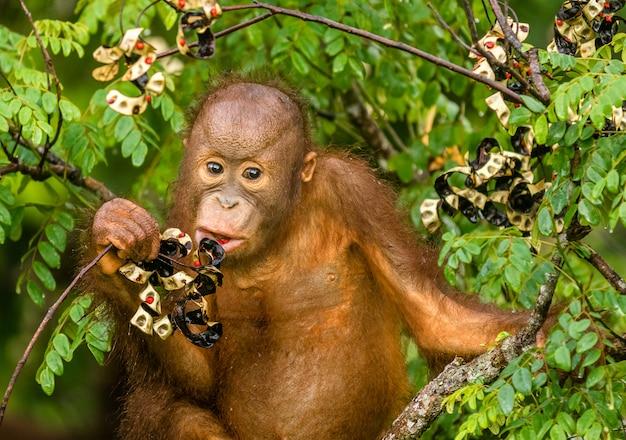 Dzikie dziecko orangutan je czerwone jagody w lesie borneo malezja