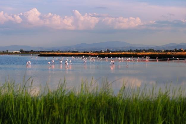 Dzikie flamingi na słonym jeziorze w pobliżu miasta cervia