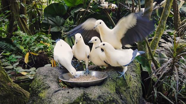 Dzikie gołębie biało-niebieskie jedzą z miski stojącej na szarym kamieniu