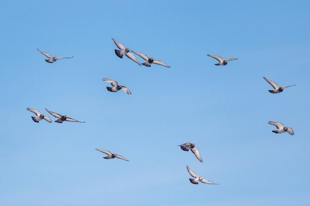 Dzikie gołębie latają na tle błękitnego nieba