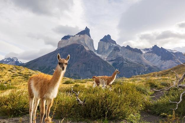 Dzikie guanako (lama guanicoe) na prerii patagonii, chile, ameryce południowej