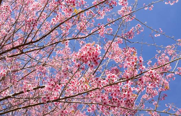 Dzikie himalajskie kwiaty wiśni w sezonie wiosennym, prunus cerasoides, piękny różowy kwiat sakury na tle niebieskiego nieba