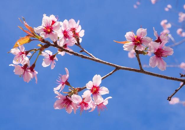 Dzikie himalajskie kwiaty wiśni w sezonie wiosennym, prunus cerasoides, piękny różowy kwiat sakury