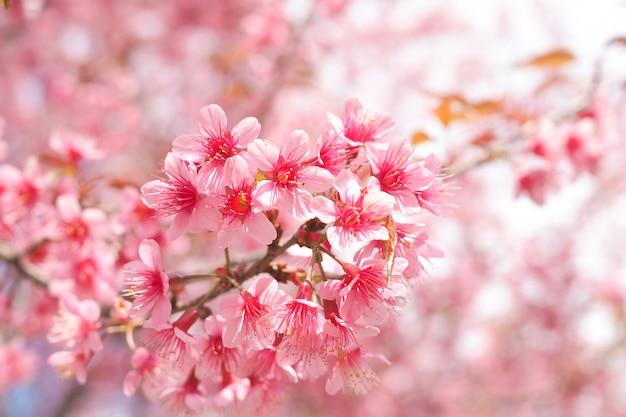 Dzikie himalajskie kwiaty wiśni w sezonie wiosennym, prunus cerasoides, pink sakura flower