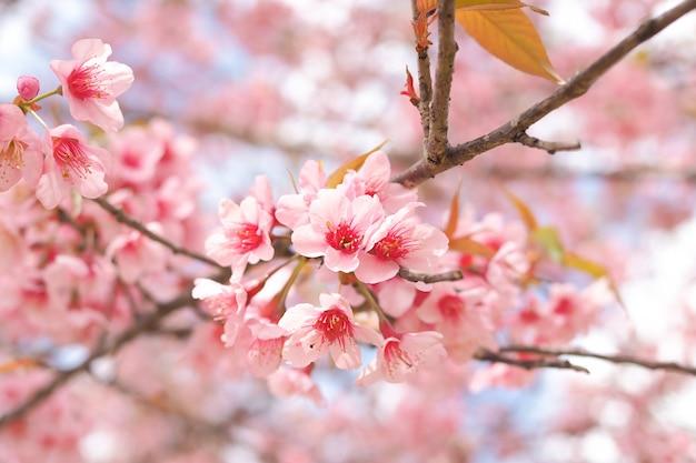 Dzikie himalajskie kwiaty wiśni w sezonie wiosennym, różowy kwiat sakury w tle