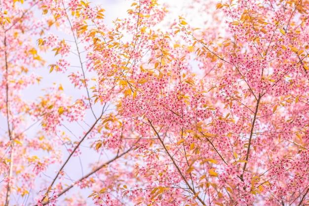 Dzikie himalajskie wiśniowe drzewo