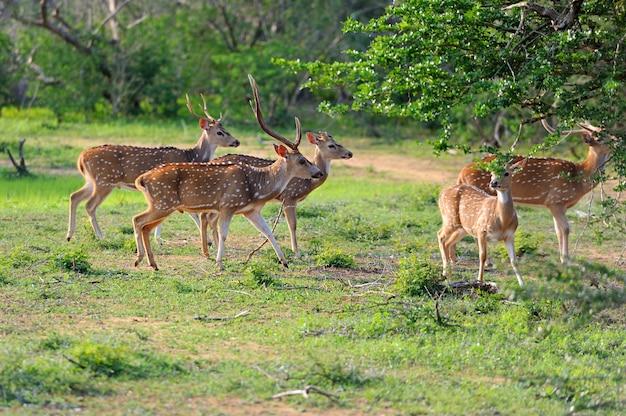 Dzikie jelenie w parku narodowym yala