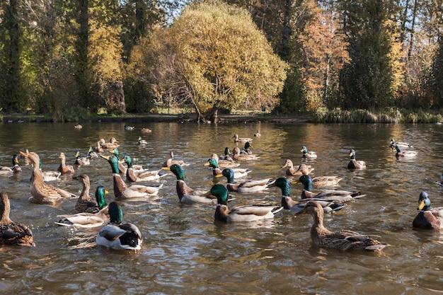 Dzikie kaczki i kaczory na stawie miejskiego parku jesień czekają na karmienie chleba.