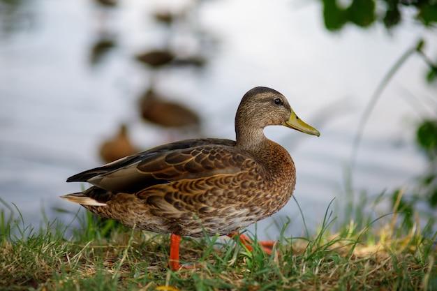Dzikie kaczki na jeziorze w przyrodzie