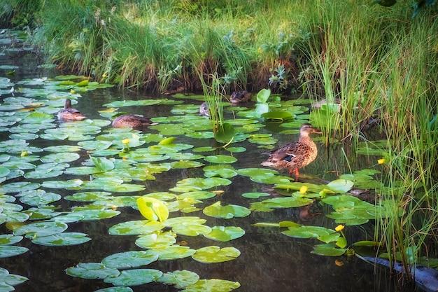 Dzikie kaczki na stawie z liliami wodnymi w letni poranek