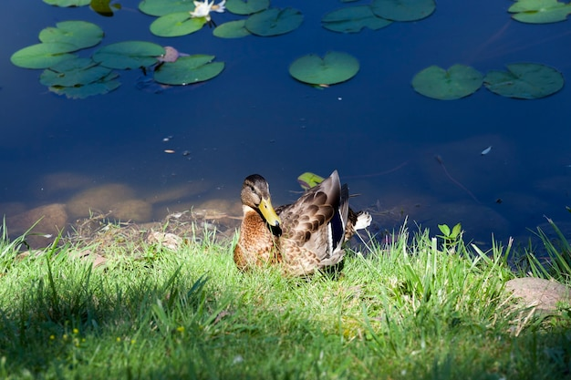 Dzikie kaczki odpoczywają nad jeziorem w zielonej trawie, młode pokolenie ptactwa wodnego przed wyjazdem na południe