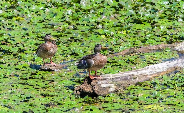 Dzikie kaczki siedzące na zaczepie wśród lilii wodnych