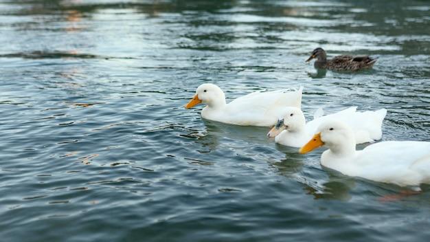 Dzikie kaczki unoszące się na wodzie