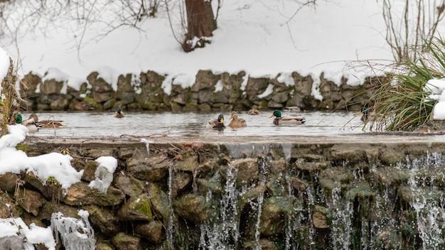 Dzikie kaczki w jeziorze w parku zimą.
