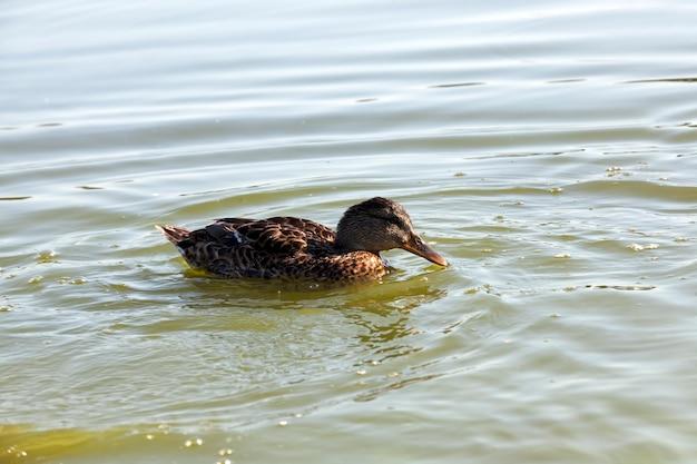 Dzikie kaczki w naturze latem lub wiosną, kaczki są wolne i przyleciały, aby żyć w europie