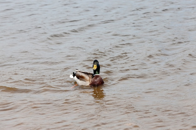 Dzikie kaczki wiosną lub latem w przyrodzie, piękne dzikie kaczki w przyrodzie
