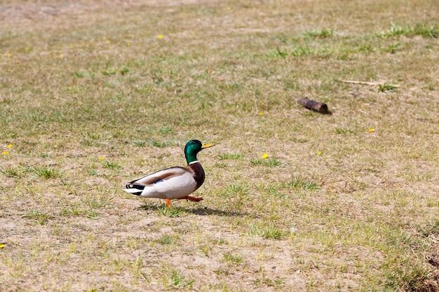 Dzikie kaczki wiosną lub latem
