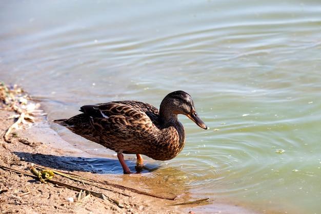 Dzikie kaczki występują w przyrodzie latem lub wiosną, kaczki są wolne i przyleciały, by żyć w europie