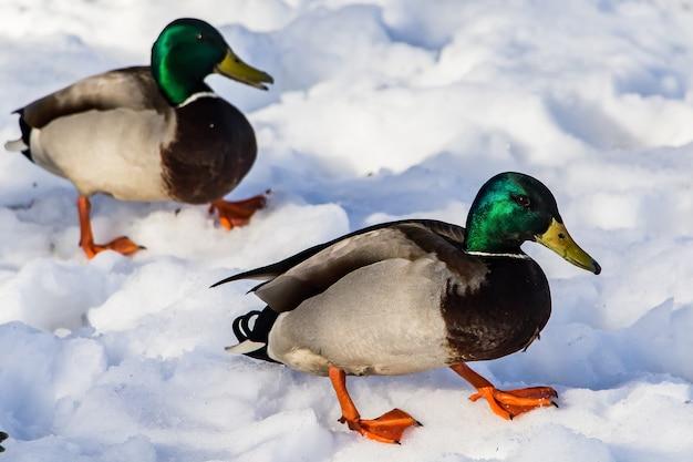 Dzikie kaczki zimą na śniegu