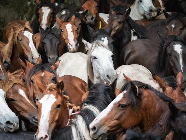 Dzikie konie podczas a rapa das bestas w pontevedra w galicji