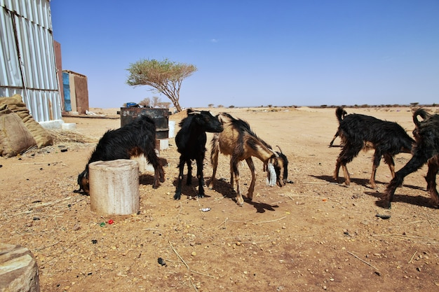 Dzikie kozy na saharze w sudanie