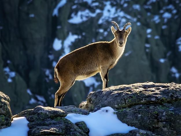 Dzikie kozy na szczycie zaśnieżonej góry madrytu zimą. morcuera. hiszpania.