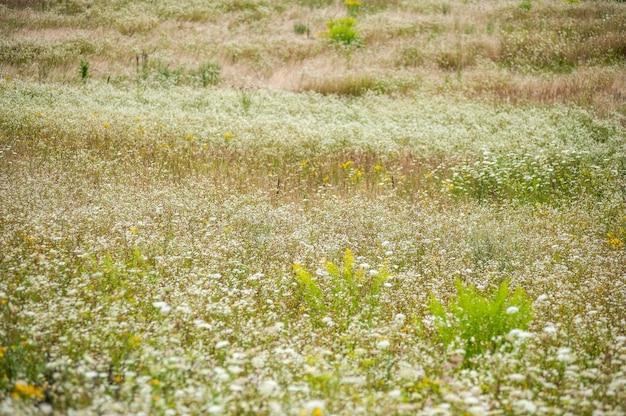 Dzikie kwiaty na letnim polu