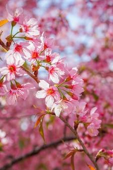 Dzikie kwiaty wiśni himalajskiej lub sakura na błękitnym niebie