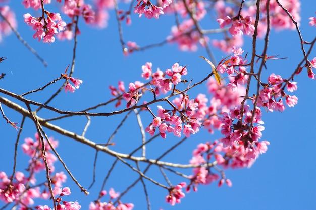 Dzikie kwiaty wiśni himalajskiej lub sakura na niebieskim niebie