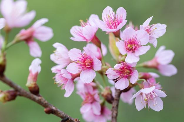 Dzikie kwiaty wiśni himalajskiej