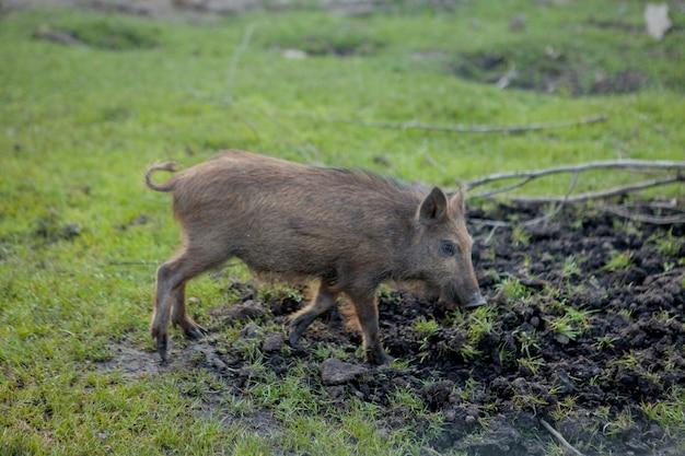 Dzikie małe świnie z zadowoleniem pasące się na trawie.