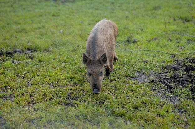 Dzikie małe świnie z zadowoleniem pasące się na trawie