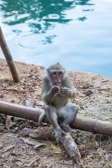 Dzikie małpy, pawiany w tajlandii