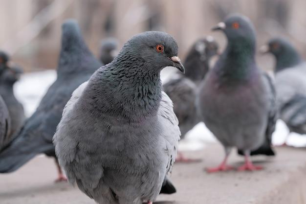 Dzikie miasto gołębie portret ptaka w okresie zimowym z bliska