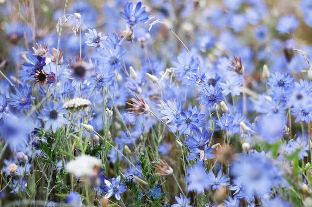 Dzikie niebieskie kwiaty