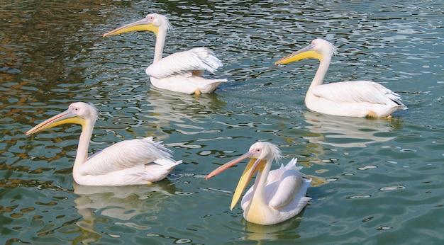 Dzikie piękne afrykańskie ptaki. cztery duże różowe pelikany pływające na powierzchni w czystej wodzie laguny, stawu lub rzeki. różowy pelikan