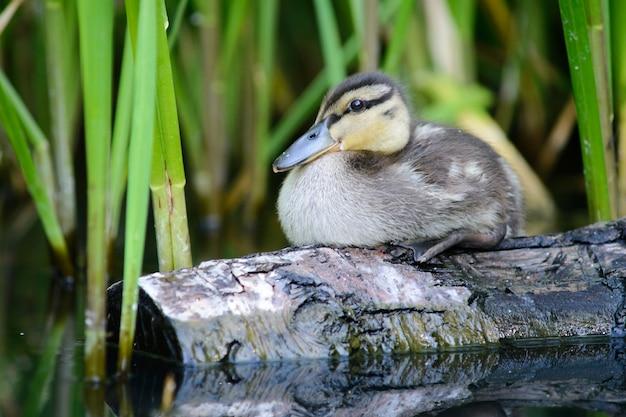 Dzikie pisklę kaczki na kłodzie w pobliżu trzciny