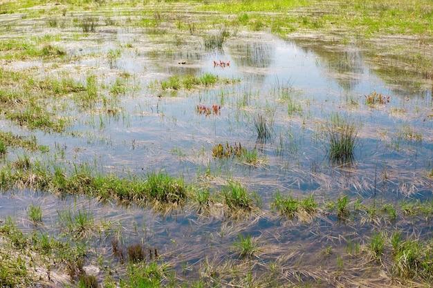 Dzikie pole bagienne ze starą suchą i świeżą zieloną trawą wczesną wiosną zalany obszar