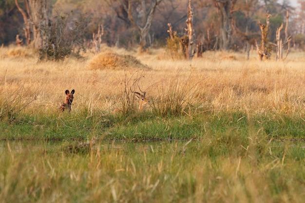 Dzikie psy polujące zdesperowane impale