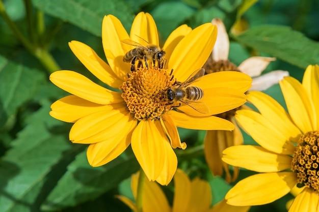 Dzikie pszczoły zbierają nektar w ostatnim z jesiennych kolorów