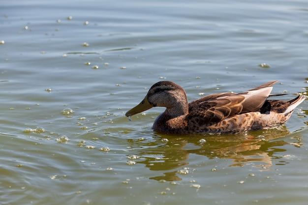 Dzikie ptactwo wodne kaczki na wolności, małe piękne dzikie kaczki