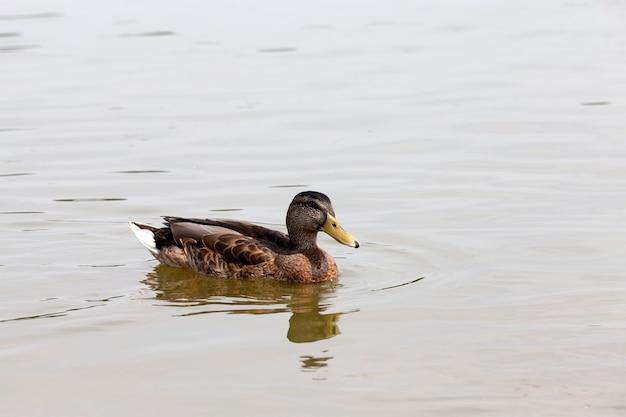 Dzikie ptactwo wodne kaczki w przyrodzie, kaczki w ich naturalnym środowisku, obszar z dużą liczbą jezior, w których żyją kaczki