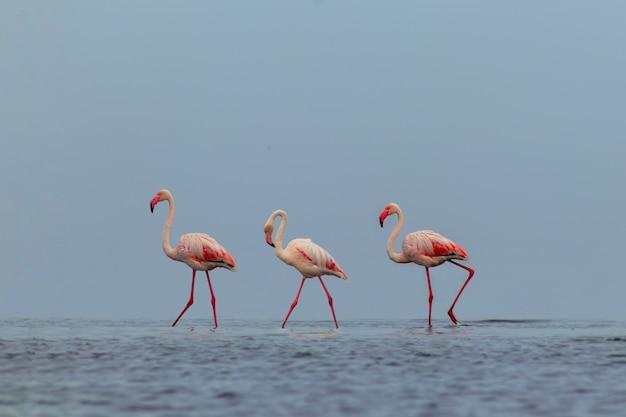 Dzikie ptaki afrykańskie. grupa ptaków różowych afrykańskich flamingów spacerujących po błękitnej lagunie w słoneczny dzień