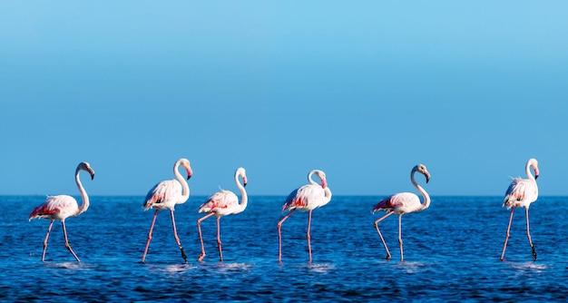 Dzikie ptaki afrykańskie. grupa ptaków różowych flamingów afrykańskich spacerujących po błękitnej lagunie w słoneczny dzień. namibia