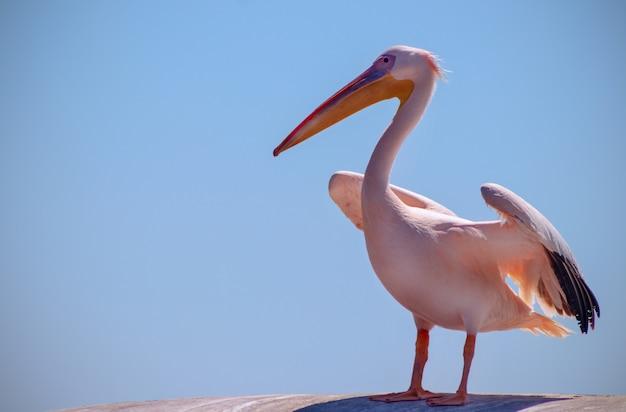 Dzikie ptaki afrykańskie z bliska. trzy wielkie różowe pelikany z namibii na tle jasnoniebieskiego nieba