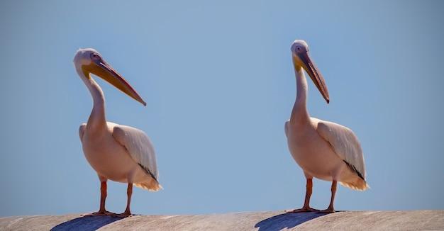 Dzikie ptaki afrykańskie z bliska. wielkie różowe pelikany z namibii na tle jasnoniebieskiego nieba