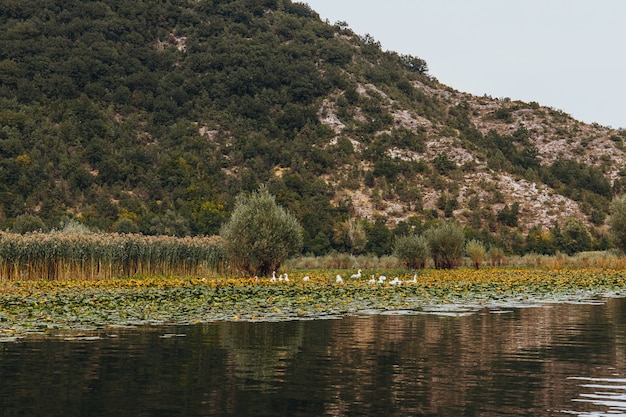 Dzikie ptaki w jeziorze skadar national park w czarnogórze