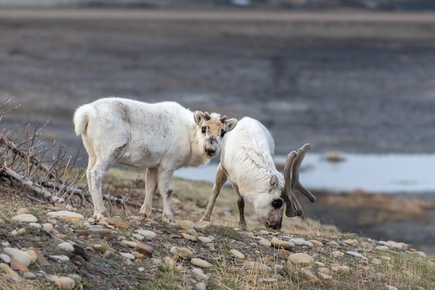 Dzikie renifery matka i młode w tundrze w okresie letnim