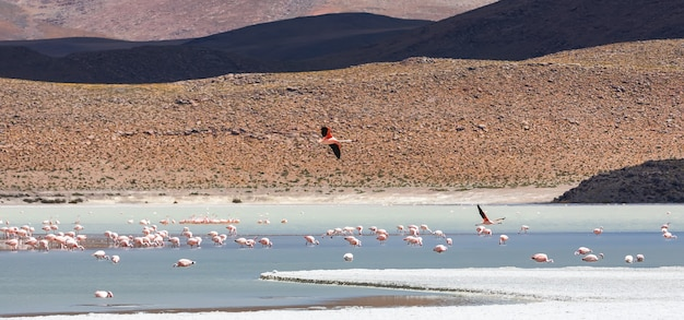 Dzikie różowe flamingi andyjskie i słone jezioro w lagunie hedionda. boliwia, ameryka południowa